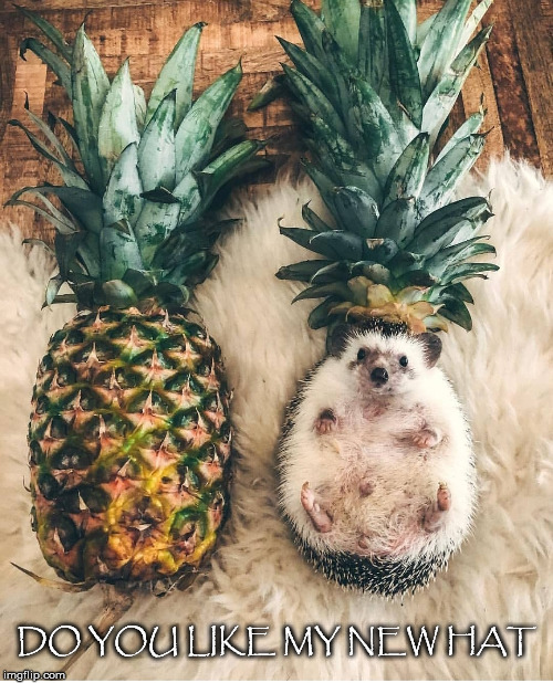 Must Have Read Go Dog Go | DO YOU LIKE MY NEW HAT | image tagged in pineapple,hedgehog,hat,rug,fruit | made w/ Imgflip meme maker