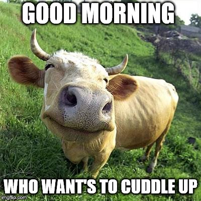 good morning |  GOOD MORNING; WHO WANT'S TO CUDDLE UP | image tagged in cow,good morning,cuddle,memes,meme,funny animals | made w/ Imgflip meme maker