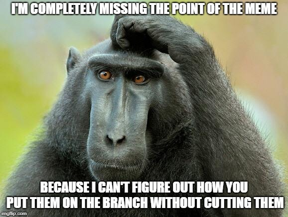Monkey scratch | I'M COMPLETELY MISSING THE POINT OF THE MEME BECAUSE I CAN'T FIGURE OUT HOW YOU PUT THEM ON THE BRANCH WITHOUT CUTTING THEM | image tagged in monkey scratch | made w/ Imgflip meme maker