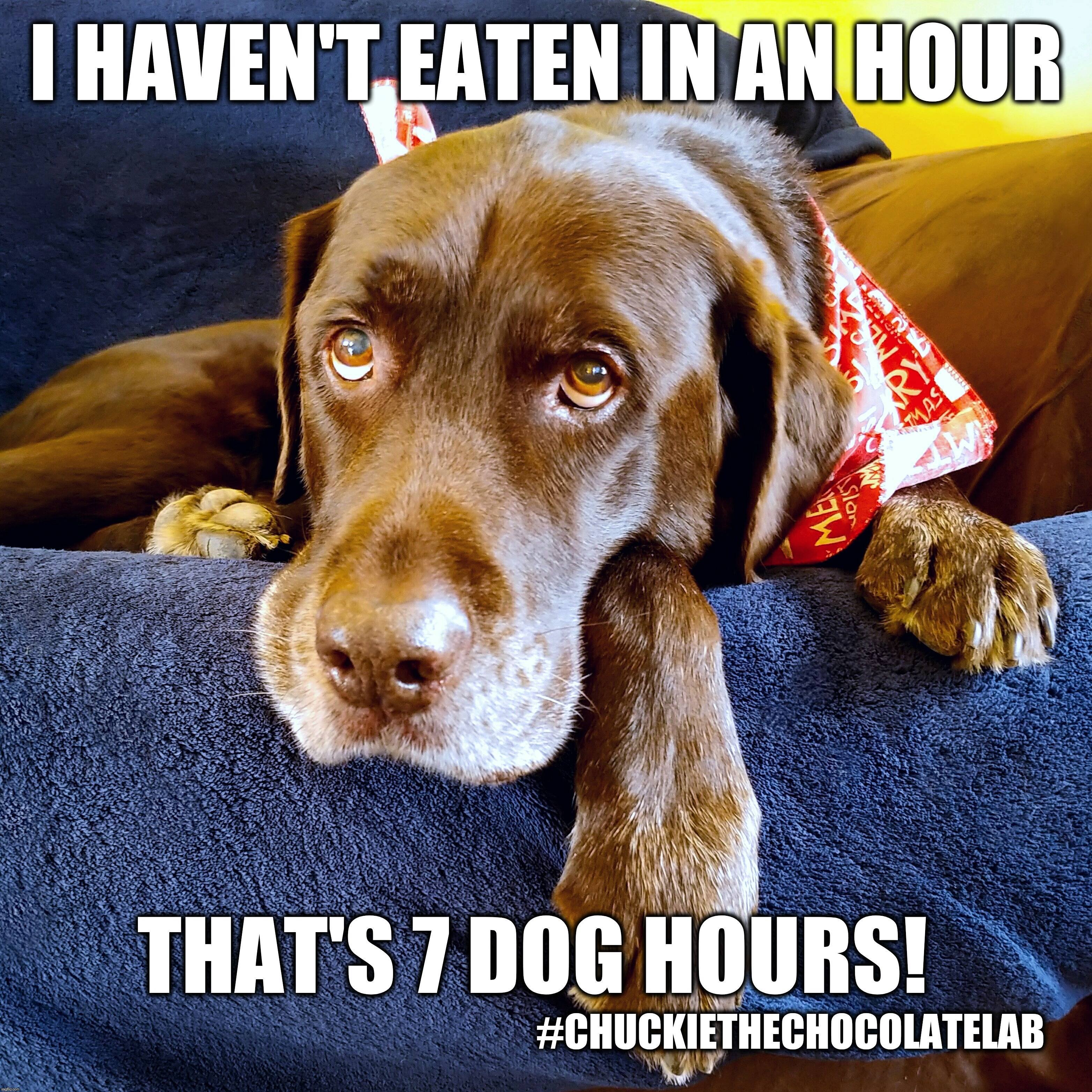 I haven't eaten in an hour |  I HAVEN'T EATEN IN AN HOUR; THAT'S 7 DOG HOURS! #CHUCKIETHECHOCOLATELAB | image tagged in chuckie the chocolate lab,hungry,funny,dogs,memes,dog hours | made w/ Imgflip meme maker