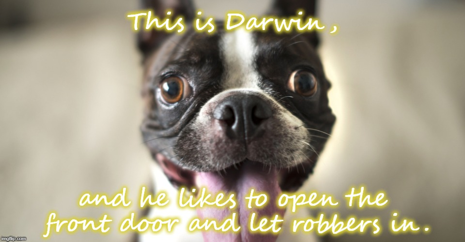 You had one job! | This is Darwin, and he likes to open the front door and let robbers in. | image tagged in dog,funny,darwin,robber | made w/ Imgflip meme maker