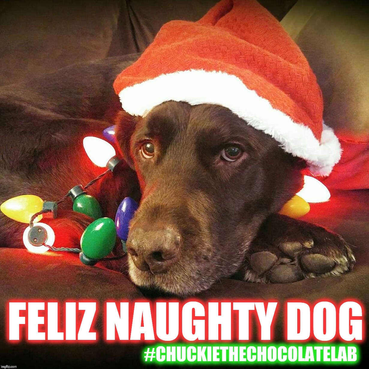 Feliz Naughty Dog | FELIZ NAUGHTY DOG #CHUCKIETHECHOCOLATELAB | image tagged in chuckie the chocolate lab teamchuckie,feliz naughty dog,christmas,funny,memes,dogs | made w/ Imgflip meme maker