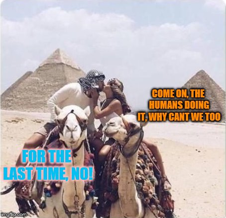 Perfect Picture Lol | COME ON, THE HUMANS DOING IT, WHY CANT WE TOO FOR THE LAST TIME, NO! | image tagged in perfectly timed photo,camel,lol,kissing,no,funny picture | made w/ Imgflip meme maker