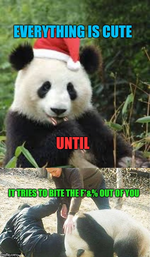 The Cute :) | EVERYTHING IS CUTE UNTIL IT TRIES TO BITE THE F*&% OUT OF YOU | image tagged in panda,cute,memes,dangerous,does he bite,pandas | made w/ Imgflip meme maker