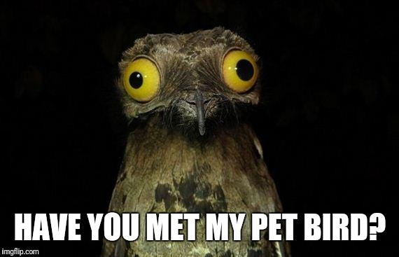 Weird Stuff I Do Potoo Meme | HAVE YOU MET MY PET BIRD? | image tagged in memes,weird stuff i do potoo | made w/ Imgflip meme maker