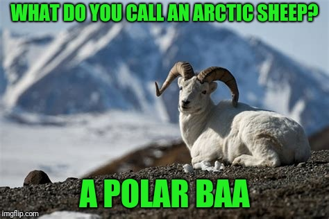 :) | WHAT DO YOU CALL AN ARCTIC SHEEP? A POLAR BAA | image tagged in dall sheep | made w/ Imgflip meme maker