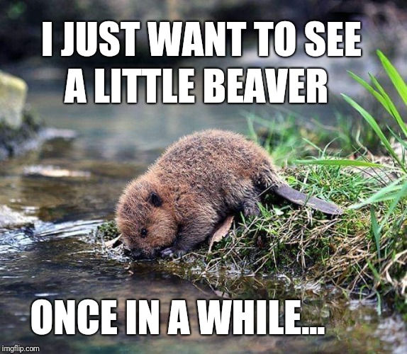 Im not a pervert | I JUST WANT TO SEE ONCE IN A WHILE... A LITTLE BEAVER | image tagged in funny,meme,beaver,pun,cute,animal | made w/ Imgflip meme maker