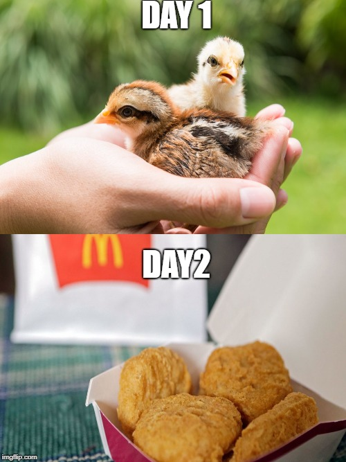 chicken life | DAY 1 DAY2 | image tagged in chicken | made w/ Imgflip meme maker
