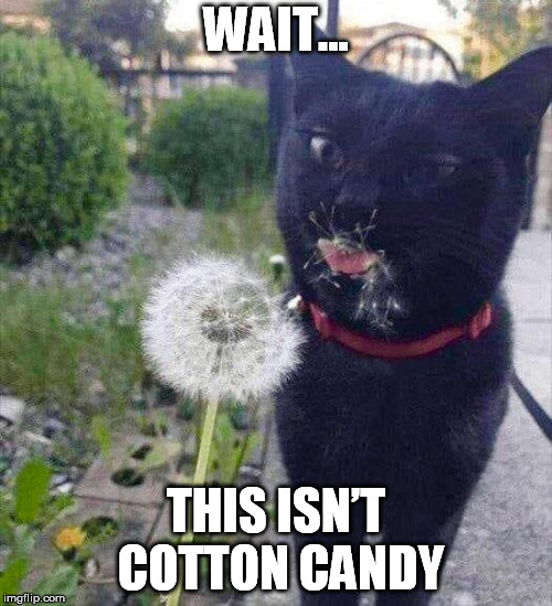 I can haz cotton candy? | WAIT... THIS ISN'T COTTON CANDY | image tagged in cat memes,cotton candy | made w/ Imgflip meme maker