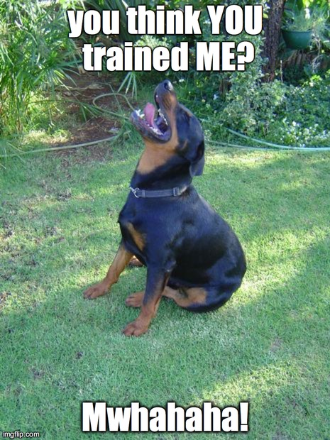 Condescending Rottweiler  | you think YOU trained ME? Mwhahaha! | image tagged in rottweiler,funny,memes,animals,dogs | made w/ Imgflip meme maker