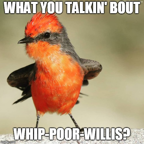 Attitude Bird | WHAT YOU TALKIN' BOUT WHIP-POOR-WILLIS? | image tagged in attitude bird,memes,different strokes,whatchu talkin' bout willis,willis,birds | made w/ Imgflip meme maker