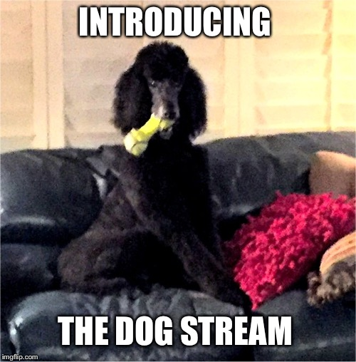 Noah in the bone life | INTRODUCING THE DOG STREAM | image tagged in noah in the bone life | made w/ Imgflip meme maker