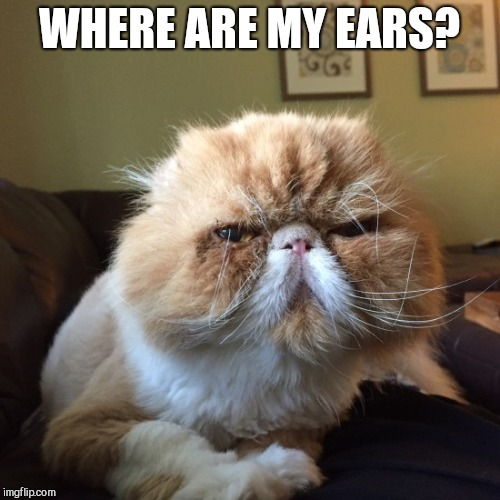 I would actually really like to know | WHERE ARE MY EARS? | image tagged in cat,ginger grumpy cat,no ears | made w/ Imgflip meme maker