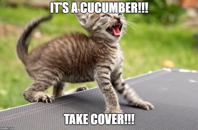 When your cat see's your sandwich | IT'S A CUCUMBER!!! TAKE COVER!!! | image tagged in cats,cucumber | made w/ Imgflip meme maker