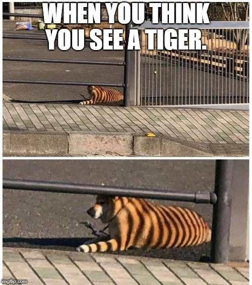 WHEN YOU THINK YOU SEE A TIGER. | image tagged in dog | made w/ Imgflip meme maker