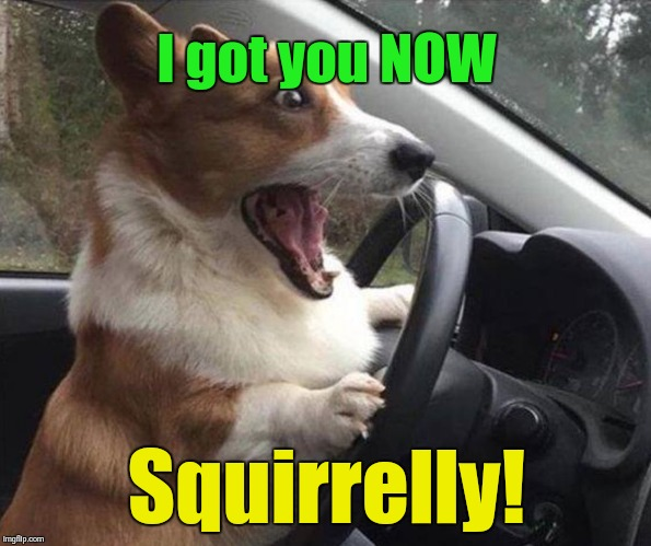 dog driving |  I got you NOW; Squirrelly! | image tagged in dog driving | made w/ Imgflip meme maker