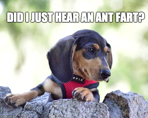 Ant Fart? | DID I JUST HEAR AN ANT FART? | image tagged in dachshunds | made w/ Imgflip meme maker