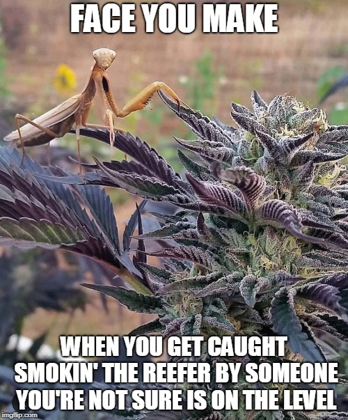 You Wanna A Hit, Mein? | FACE YOU MAKE WHEN YOU GET CAUGHT SMOKIN' THE REEFER BY SOMEONE YOU'RE NOT SURE IS ON THE LEVEL | image tagged in memes,mantis,praying mantis,smoking the reefer,pot,weed | made w/ Imgflip meme maker