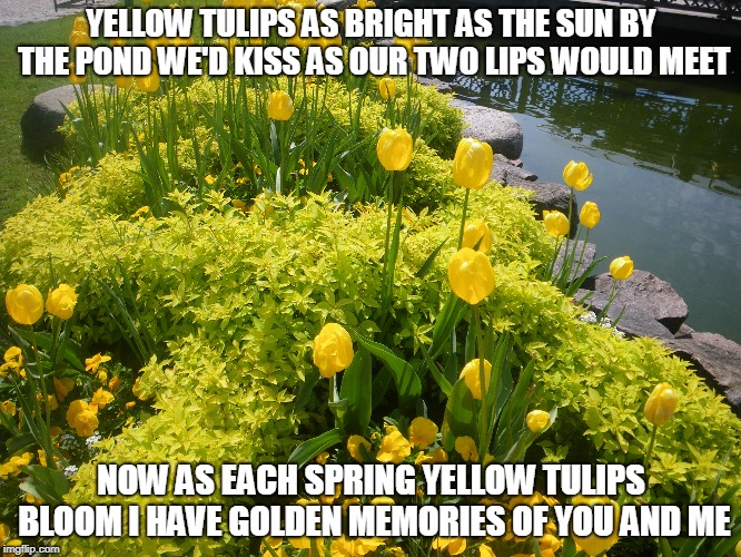 Yellow Tulips | YELLOW TULIPS AS BRIGHT AS THE SUN BY THE POND WE'D KISS AS OUR TWO LIPS WOULD MEET NOW AS EACH SPRING YELLOW TULIPS BLOOM I HAVE GOLDEN MEM | image tagged in tulips,kisses,spring,golden memories | made w/ Imgflip meme maker