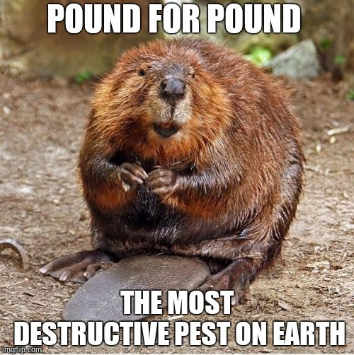 It's a dam nuisance! | POUND FOR POUND THE MOST DESTRUCTIVE PEST ON EARTH | image tagged in beaver,pests,dirty,weapon of mass destruction,busy,beyondthecomments | made w/ Imgflip meme maker