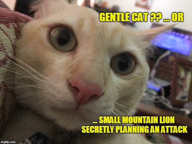 Hungry Cat | GENTLE CAT ?? ... OR ... SMALL MOUNTAIN LION SECRETLY PLANNING AN ATTACK | image tagged in funny memes | made w/ Imgflip meme maker