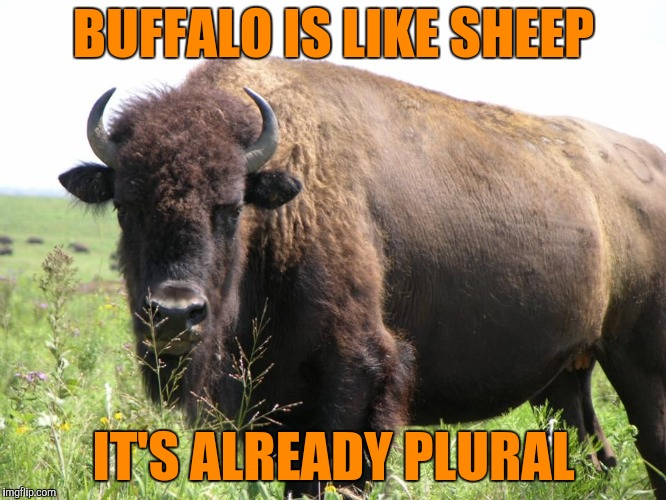 Just Something I Herd | BUFFALO IS LIKE SHEEP IT'S ALREADY PLURAL | image tagged in buffalo,buffaloes,sheeps,yayaya | made w/ Imgflip meme maker