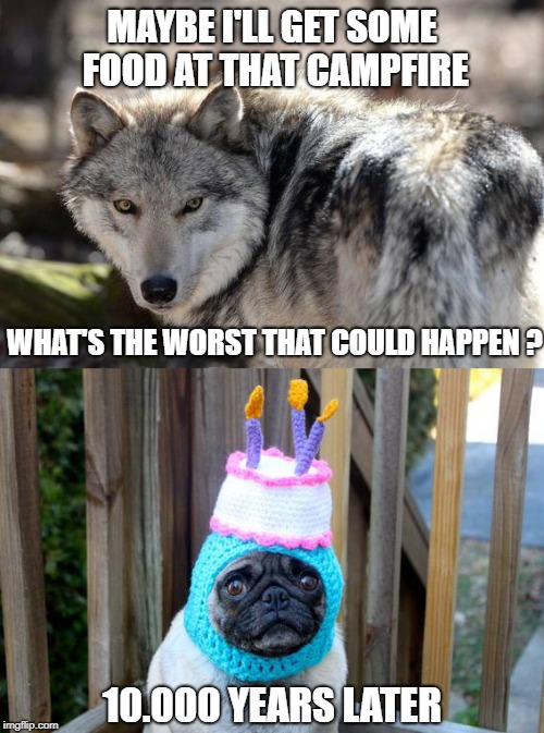 Years of evolution... ruined! | MAYBE I'LL GET SOME FOOD AT THAT CAMPFIRE 10.000 YEARS LATER WHAT'S THE WORST THAT COULD HAPPEN ? | image tagged in wolf,pug,hat,evolution | made w/ Imgflip meme maker