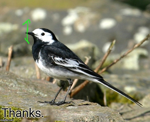 Savage Pied Wagtail | Thanks. | image tagged in savage pied wagtail | made w/ Imgflip meme maker