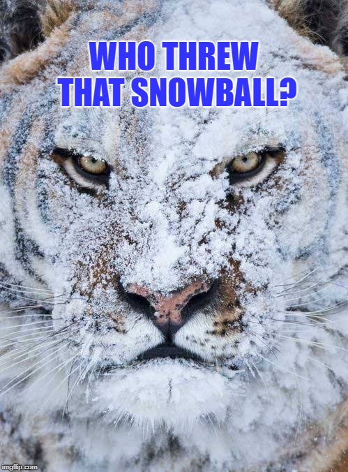 "Angry Tiger Asks, ""Who threw that snowball""? 