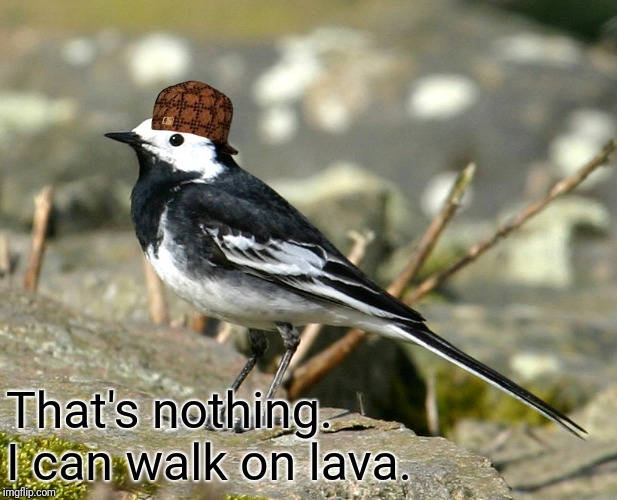 Savage Pied Wagtail | That's nothing. I can walk on lava. | image tagged in savage pied wagtail | made w/ Imgflip meme maker