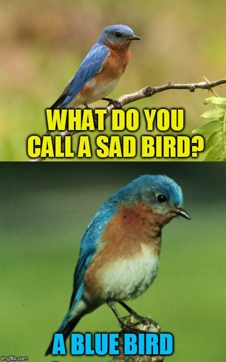 WHAT DO YOU CALL A SAD BIRD? A BLUE BIRD | made w/ Imgflip meme maker