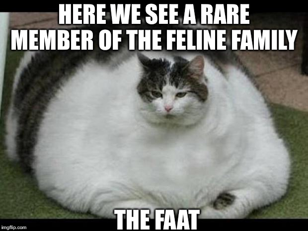 fat cat 2 | HERE WE SEE A RARE MEMBER OF THE FELINE FAMILY THE FAAT | image tagged in fat cat 2 | made w/ Imgflip meme maker