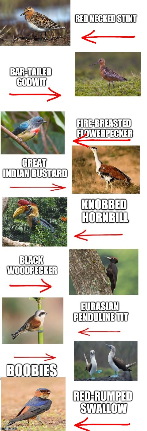When 12 Year Old Boys Are Allowed To Name Animals. Bird Weekend February 1-3, a moemeobro, Claybourne, and 1forpeace Event | BAR-TAILED GODWIT RED NECKED STINT RED-RUMPED SWALLOW | image tagged in birds,bird weekend,funny names | made w/ Imgflip meme maker