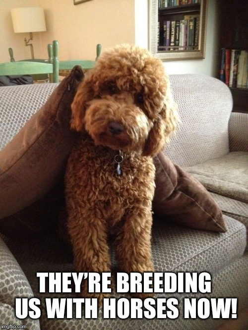 Labradoodle | THEY'RE BREEDING US WITH HORSES NOW! | image tagged in labradoodle | made w/ Imgflip meme maker