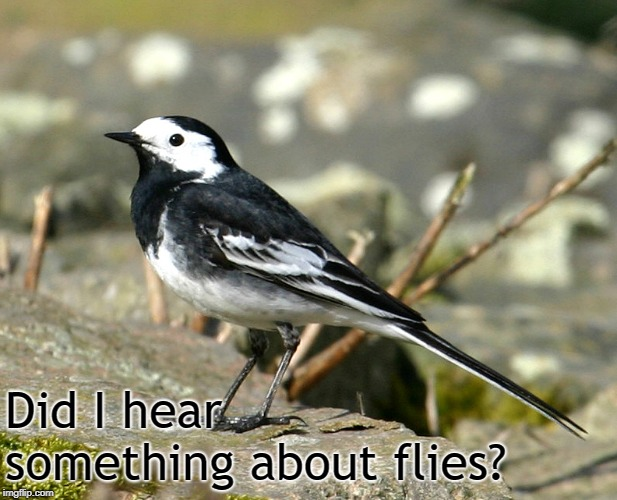 Savage Pied Wagtail | Did I hear something about flies? | image tagged in savage pied wagtail | made w/ Imgflip meme maker