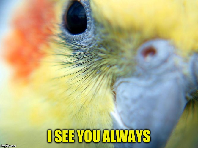 cockatiel | I SEE YOU ALWAYS | image tagged in cockatiel | made w/ Imgflip meme maker