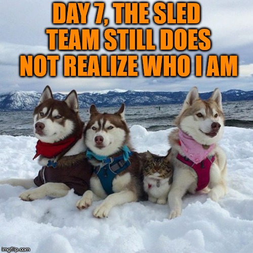 Fitting in with the sled team | DAY 7, THE SLED TEAM STILL DOES NOT REALIZE WHO I AM | image tagged in meme,dogs,cats,sledding,funny,snow | made w/ Imgflip meme maker