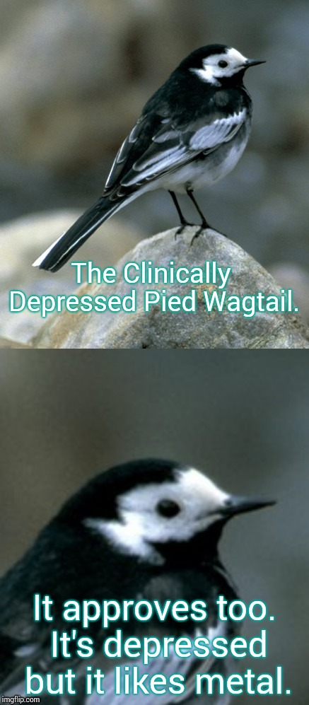 Clinically Depressed Pied Wagtail | The Clinically Depressed Pied Wagtail. It approves too. It's depressed but it likes metal. | image tagged in clinically depressed pied wagtail | made w/ Imgflip meme maker