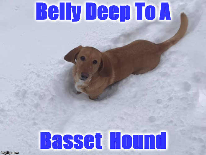 Belly Deep To A Basset  Hound | image tagged in izzy | made w/ Imgflip meme maker