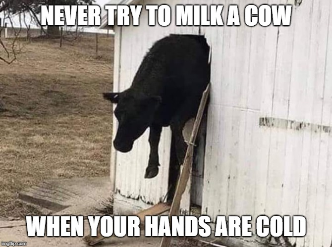 Always puts Bossy in a bad moooood. | NEVER TRY TO MILK A COW WHEN YOUR HANDS ARE COLD | image tagged in cows,milk,farmer,cold weather | made w/ Imgflip meme maker