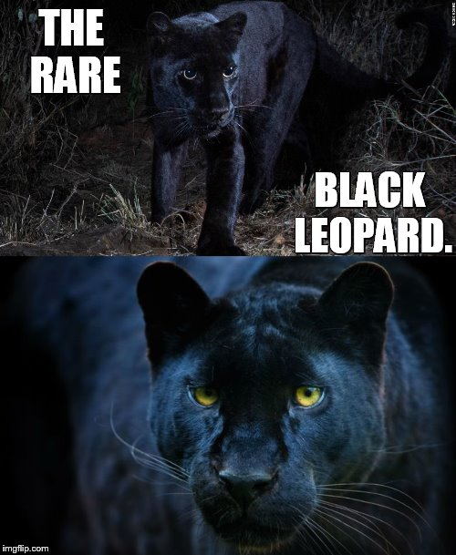 Not  Caught On Photograph In The Wild For Over 100 Years...Until Now | THE RARE BLACK LEOPARD. | image tagged in memes,rare,black,leopard,in the wild,look at this photograph | made w/ Imgflip meme maker