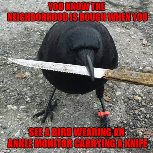 When birds go bad!!! | YOU KNOW THE NEIGHBORHOOD IS ROUGH WHEN YOU SEE A BIRD WEARING AN ANKLE MONITOR CARRYING A KNIFE | image tagged in blackbird,memes,birds,funny,rough neighborhood,animals | made w/ Imgflip meme maker