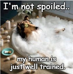 Pampered pooch | I'm not spoiled.. my human is just well trained. | image tagged in funny memes,dog,spoiled,funny dog memes,funny dog | made w/ Imgflip meme maker