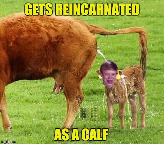 Forever Cursed |  GETS REINCARNATED; AS A CALF | image tagged in memes,funny,bad luck brian,calf,evil cows,reincarnation | made w/ Imgflip meme maker