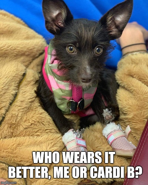 Bloody Shooes | WHO WEARS IT BETTER, ME OR CARDI B? | image tagged in comedy,dogs,cardi b | made w/ Imgflip meme maker