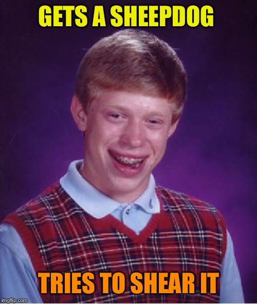 Bad Luck Brian Meme | GETS A SHEEPDOG TRIES TO SHEAR IT | image tagged in memes,bad luck brian | made w/ Imgflip meme maker