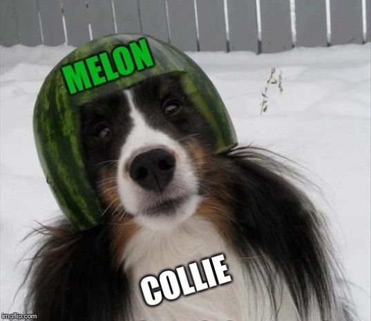 Happy Helmet | image tagged in melon,collie,border,dog,helmet | made w/ Imgflip meme maker
