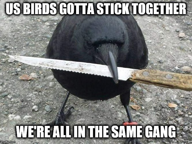 Crow With Knife | US BIRDS GOTTA STICK TOGETHER WE'RE ALL IN THE SAME GANG | image tagged in crow with knife | made w/ Imgflip meme maker