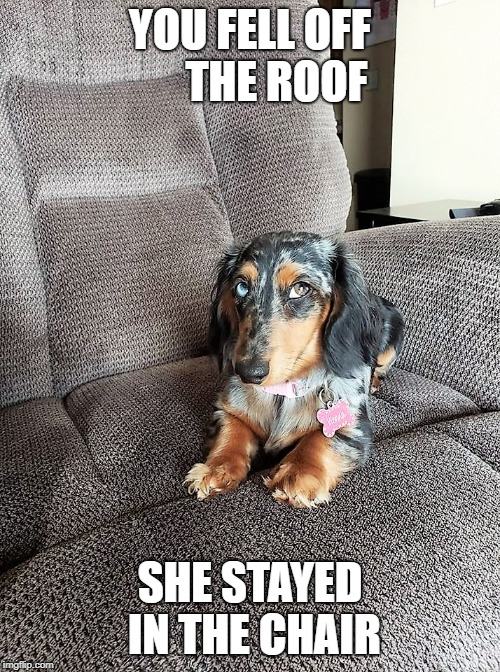 Princess Wiener | YOU FELL OFF      THE ROOF SHE STAYED IN THE CHAIR | image tagged in wiener,dog,screw you,funny,pets,roof | made w/ Imgflip meme maker