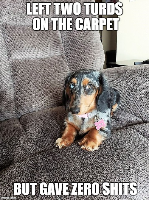 Princess Wiener | LEFT TWO TURDS ON THE CARPET BUT GAVE ZERO SHITS | image tagged in funny,screw you,wiener,dog,pets,princess | made w/ Imgflip meme maker
